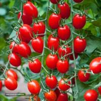 گوجه فرنگی ریز مخصوص صادرات